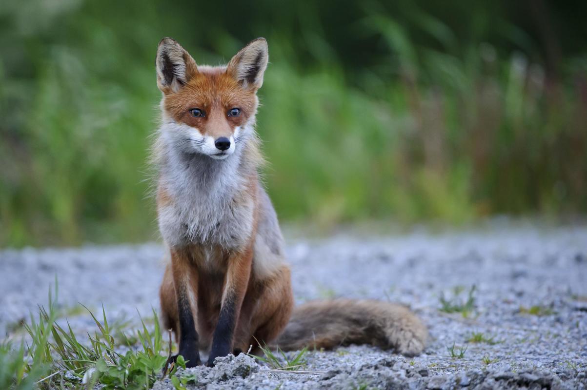 Fuchs Bilder
